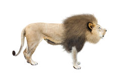 African Lion Profile Isolated on White Royalty Free Stock Images