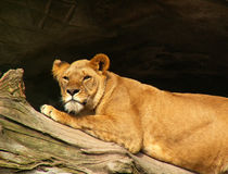 African lion resting. African lion female resting in the sun Royalty Free Stock Photo
