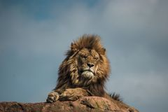 African lion resting on a big rock stock photography