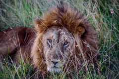 African Lion resting in the grass, Kenya Royalty Free Stock Photography