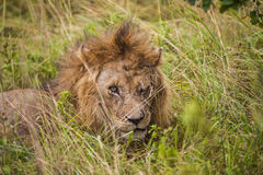 African lion resting in the grass. Stock Photography