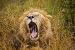 African lion resting in the grass. Royalty Free Stock Photography