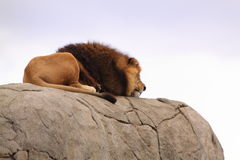 African lion resting on a rock Stock Image