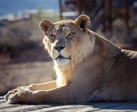 Female African lioness resting on a rock. African lion resting on a rock soaking up some sun royalty free stock photography