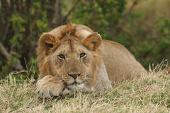 African Lion Resting Royalty Free Stock Image