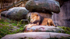 An African lion resting in the shade Royalty Free Stock Photography