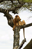 African lion resting on the tree Stock Image