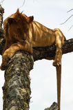 African lion resting on the tree Stock Photography