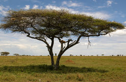 African lion resting on the tree Stock Images