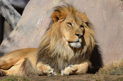 African Lion Resting in the Warm Sunshine Royalty Free Stock Photography