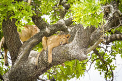 African lion rests in a tree really hot day Stock Images