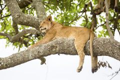 African lion rests in tree Royalty Free Stock Images