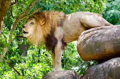 African lion roaring Royalty Free Stock Photography