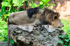 African Lion on a rock Stock Photo
