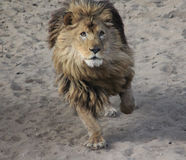 African lion running Royalty Free Stock Photo