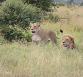 African lion's looking at antilope in the distance. In kruger national parkn Stock Photos