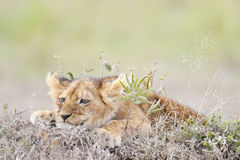 African lion's whelp Stock Photo