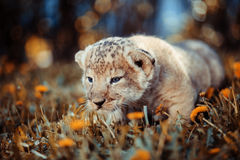 African lion's whelp goes hunting.  stock images