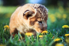African lion's whelp smelling flower Royalty Free Stock Images