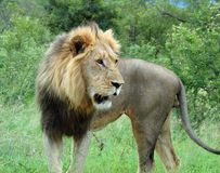 African Lion in Savanna. Wild male lion (Panthera leo) in Africa Royalty Free Stock Photography