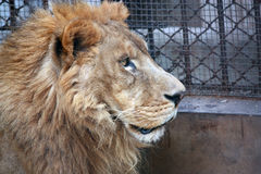 African lion-side face Stock Photography