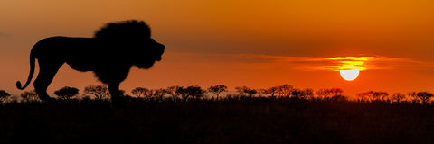 African Lion Silhouette Sunset Banner. African sunset with lion silhouette - Horizontal website banner Royalty Free Stock Images