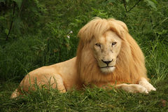 African lion sitting in the grass. South Africa stock photos