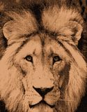 African Lion Sketch. A Sketched Portrait of a Male Lion Stock Image