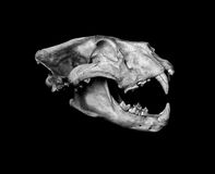 African Lion Skull (Pantera leo). Stock Photo