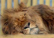 African Lion Sleeping Royalty Free Stock Photography