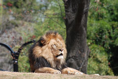 African Lion Sleeping Under the Branches of a Tree Stock Photography