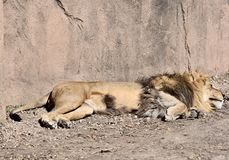 African Lion Sleeping Under The Sun. This is an early Spring picture of a male African Lion that has fallen asleep while laying in the Sun in his compound at the Stock Images