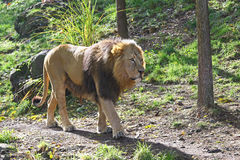African lion slowly walking Royalty Free Stock Photography