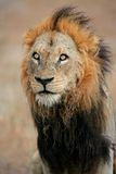 African Lion, South Africa Stock Photos