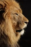 African lion, South Africa Royalty Free Stock Photo