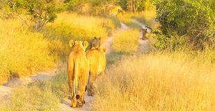 African Lion in a South African Game Reserve royalty free stock photography