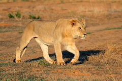 African lion stalking Stock Image