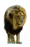 African lion. Standing in front. Isolated over white background Stock Image