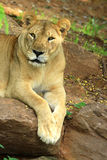 African lion staring. Looking camera in zoo Royalty Free Stock Photography