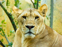 African lion staring at the camera Royalty Free Stock Images