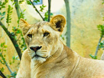 African lion staring Stock Photos