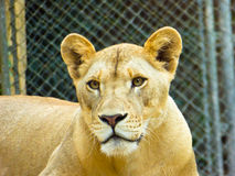 African lion staring Royalty Free Stock Photography
