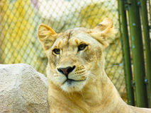 African lion staring Royalty Free Stock Photos