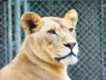 African lion staring Stock Photography
