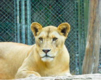 African lion staring Stock Images
