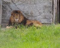 African lion staring Royalty Free Stock Images