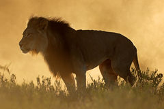 African lion at sunrise Royalty Free Stock Image