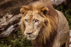 African Lion. Travel Asia, wildlife, hunting lion Royalty Free Stock Photo