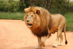 African lion walking Stock Images