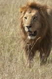African lion  walking in savannah Stock Photography